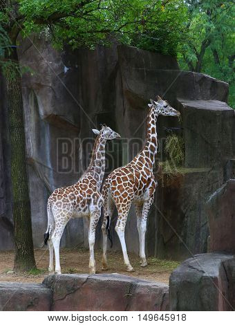 Two African  reticulated giraffes eating near rocky wall