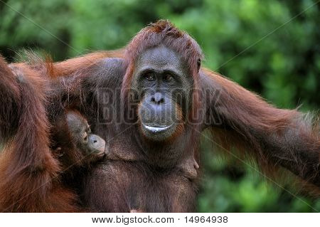 Female Of The Orangutan With A Baby.