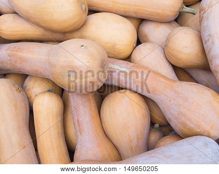 Harvest: Heap of Lunga Di Napoli Italian Squash Cucurbita moschata