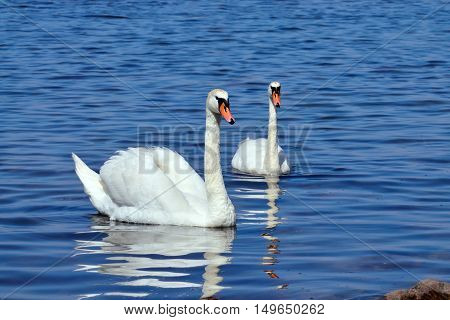 Two white mute Swan swimming on the lake