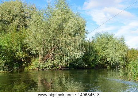 on the banks of a small river rising silver willow reflected on a water surface