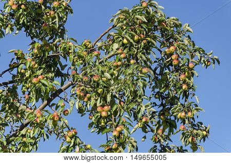Apple tree and fruits in garden, Sofia, Bulgaria