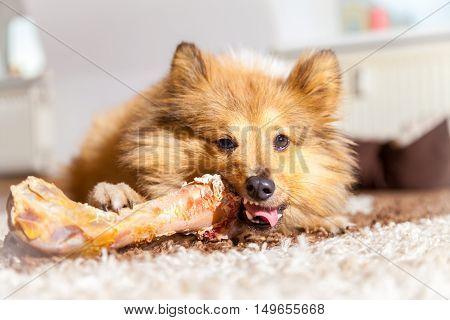 a Shetland Sheepdog chews a pig bone
