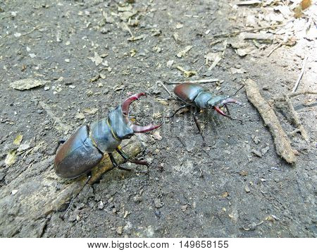 Common stag beetles (Lucanus cervus) in a forest
