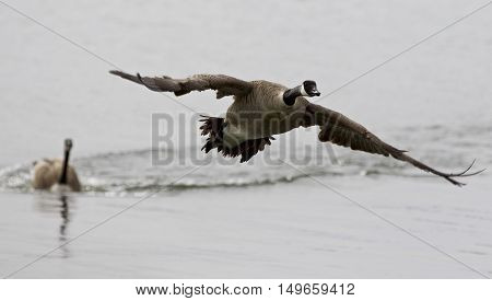 Beautiful isolated image with a Canada goose flying away from his rival