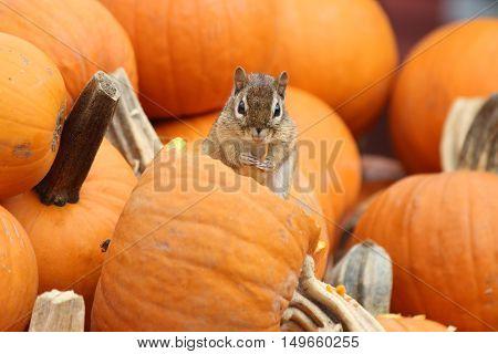 A little eastern chipmunk eating a pumpkin in a pumpkin patch in Massachusetts in Fall.