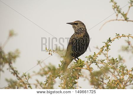 Common Starling (Sturnus vulgaris) perched on top of a Bush