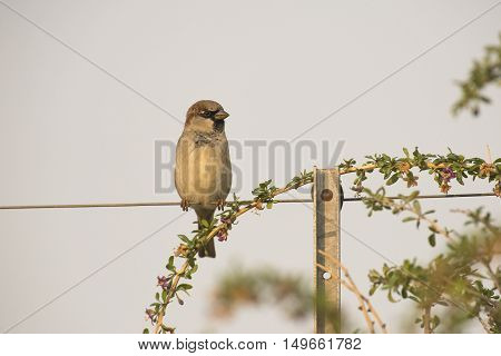 House Sparrow (Passer domesticus) male perched on a Wire