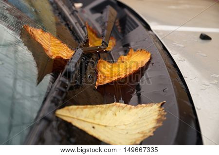 Yellow autumn leaves on a car windshield