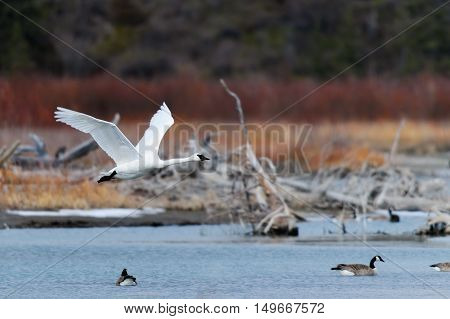 Trumpeter or Tundra Swans in flight over a wetland pond