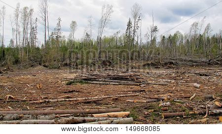 The cut trees in the forest environmental disaster. deforestation