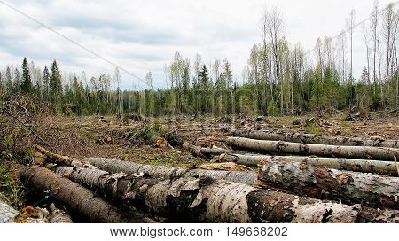 Edge of the forest after loggers environmental disaster. deforestation