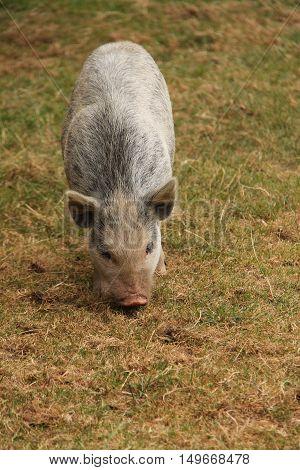 A Farmyard Pig Foraging in a Grass Meadow.