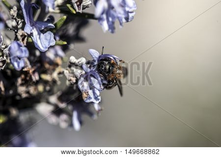bee on rosemary flower outdoor macro closeup