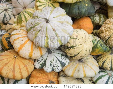 Harvest: Heap of Patisson Squash Cucurbita pepo