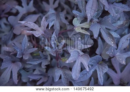 Beautiful colorful blue leaves background close up