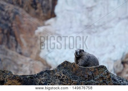 Fat Hoary Marmot before hibernation. Banff National Park. Canadian Rocky Mountains. Alberta. Canada.