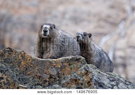 Couple of Hoary Marmots befor hibernation. Jasper National Park. Canadian Rocky Mountains. Alberta. Canada.