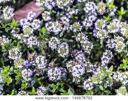 bees on thyme flowers outdoor macro closeup