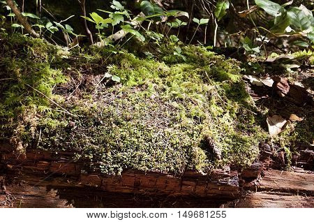 Large growth of green/yellow moss growing on an old dead aging log with foliage in Capilano park, BC on a bright sunny day.