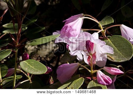 Mauve and pink Hibiscus type flowers with green foliage on a bright sunny day.