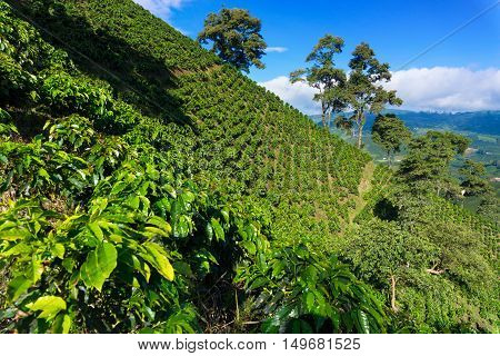 Coffee plant covered hills rising above a valley near Manizales Colombia