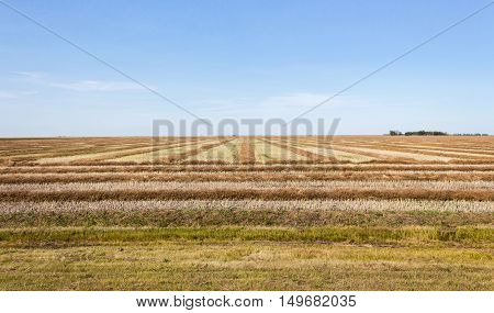 image of a field that has been swathed under a bright blue sky and is ready for combining in the late summer time