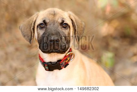 Puppy cute is an adorable little puppy dog looking straight at you with his big brown eyes.