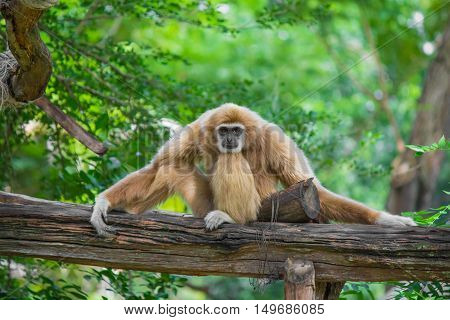 Gibbon Sits On Timber.