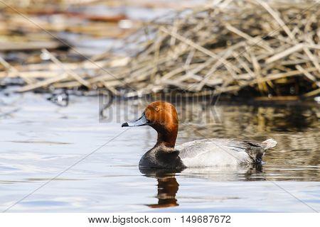 Wild Redhead duck in a prairie wetland
