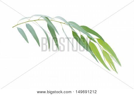eucalyptus branch isolated on white background with clipping path
