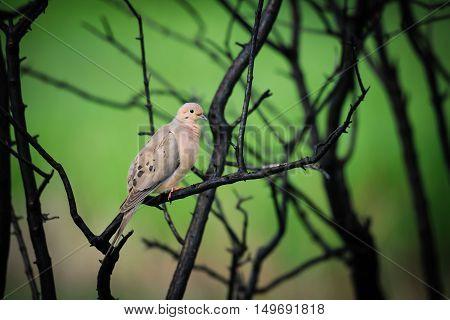 Mourning Dove (zenaida Macroura