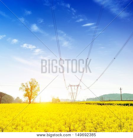 Endless canola flower blue sky and white clouds and pylons.