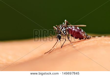 Full blood on mosquito body while biting human skin