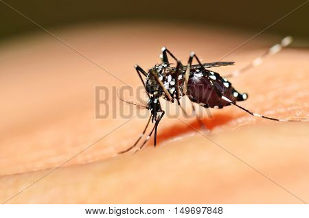 Aedes mosquito sucking blood on skin. Zika, Dengue carrying mosquito