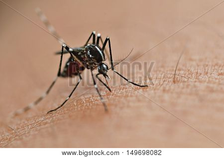 Mosquito sucking human blood on extreme macro