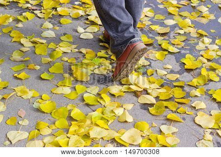 Human legs in brown shoes and black jeans on the asphalt path covered with yellow fallen leaves