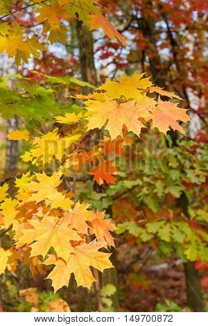 Branch of autumn maple with yellow and orange leaves against the background of other trees in the forest