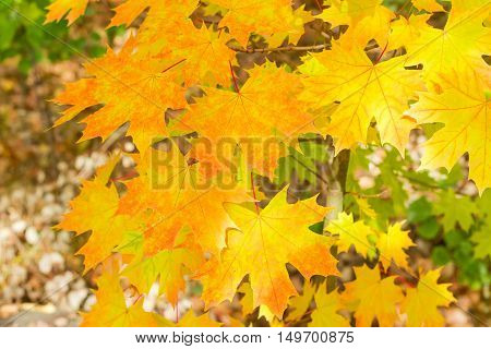 Branch of autumn maple with yellow and orange leaves in the forest
