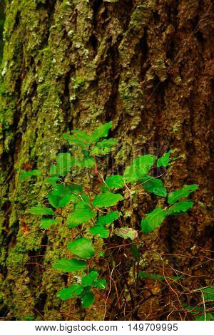 a picture of an exterior pacific Northwest forest Douglas fir tree and a salal plant