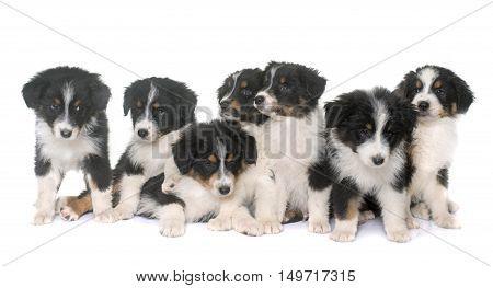 puppies australian shepherd in front of white background