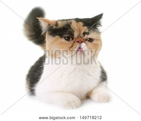 tricolor exotic shorthair cat in heat in front of white background