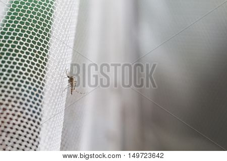 Aedes Aegypti Mosquito. Close Up A Mosquito