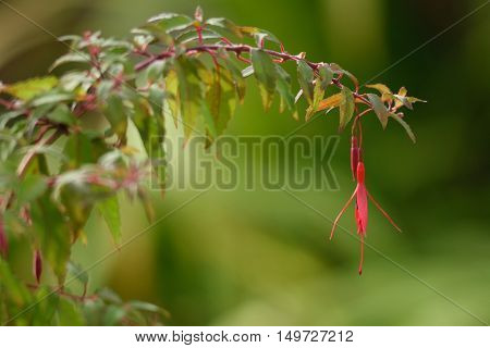 Branch of fuchsia with red hanging flower