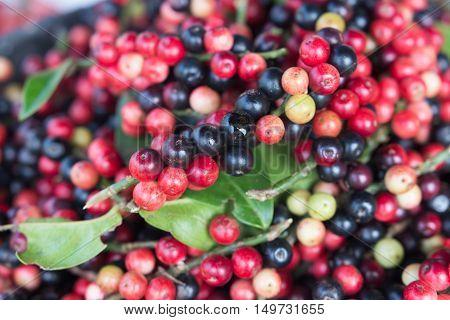 Closeup Fresh Mak Mao Or Thai Blueberry, Local Fruit In Northeastern
