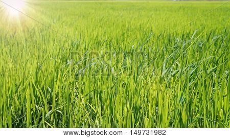 Green grass and morning sunshine