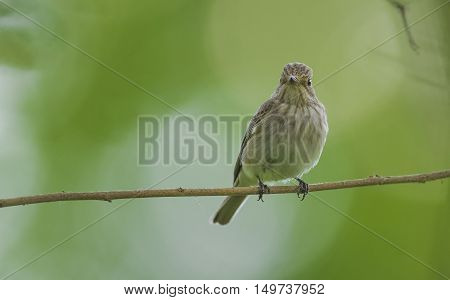 Spotted Flycatcher is hunting fly by flapping his wings in the air