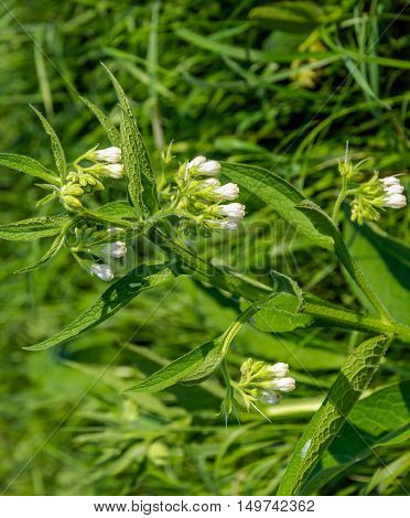 Closeup of a white budding flowering and overblown True Comfrey plant on a sunny day in the end of the summer season.
