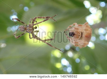 Pair of cross spiders ready to mate