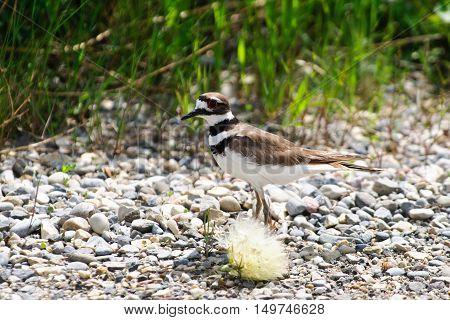Killdeer shorebird on a gravel bed in the spring